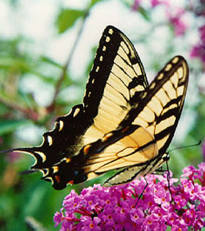 Butterfly pictures genus species tiger swallowtail 2